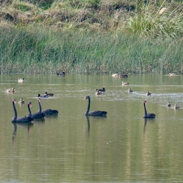 Black swans on the lake by Reay Mackay Grove.