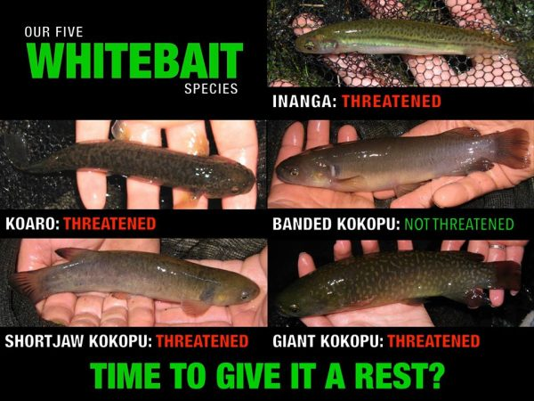 Whitebait threat status infographic by Stella McQueen.