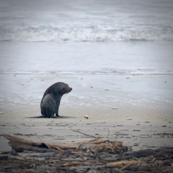 Young seal on the beach 08 August 2018.