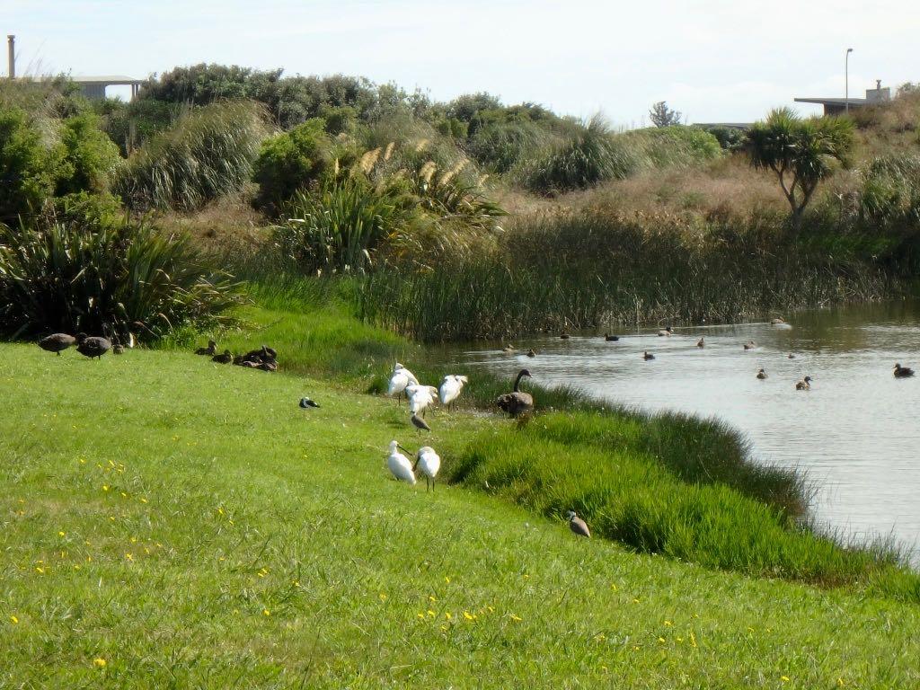 Water birds galore on Reay Mackay Grove.