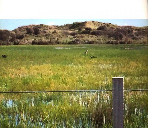 Bittern in a paddock on Reay Mackay Grove.
