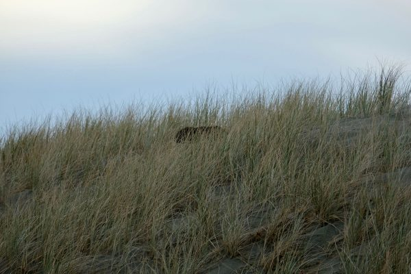 Seal pup emerging from the dunes.
