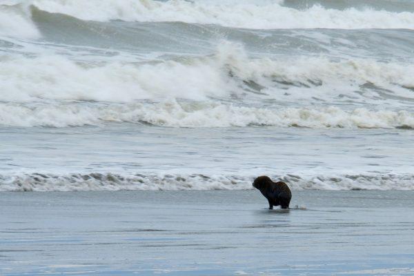 Seal pup entering the sea.