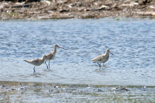 Kuaka, Godwits in shallow water.