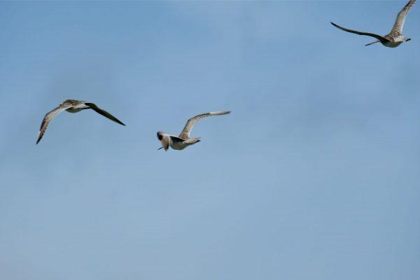 Kuaka, Godwits in flight.