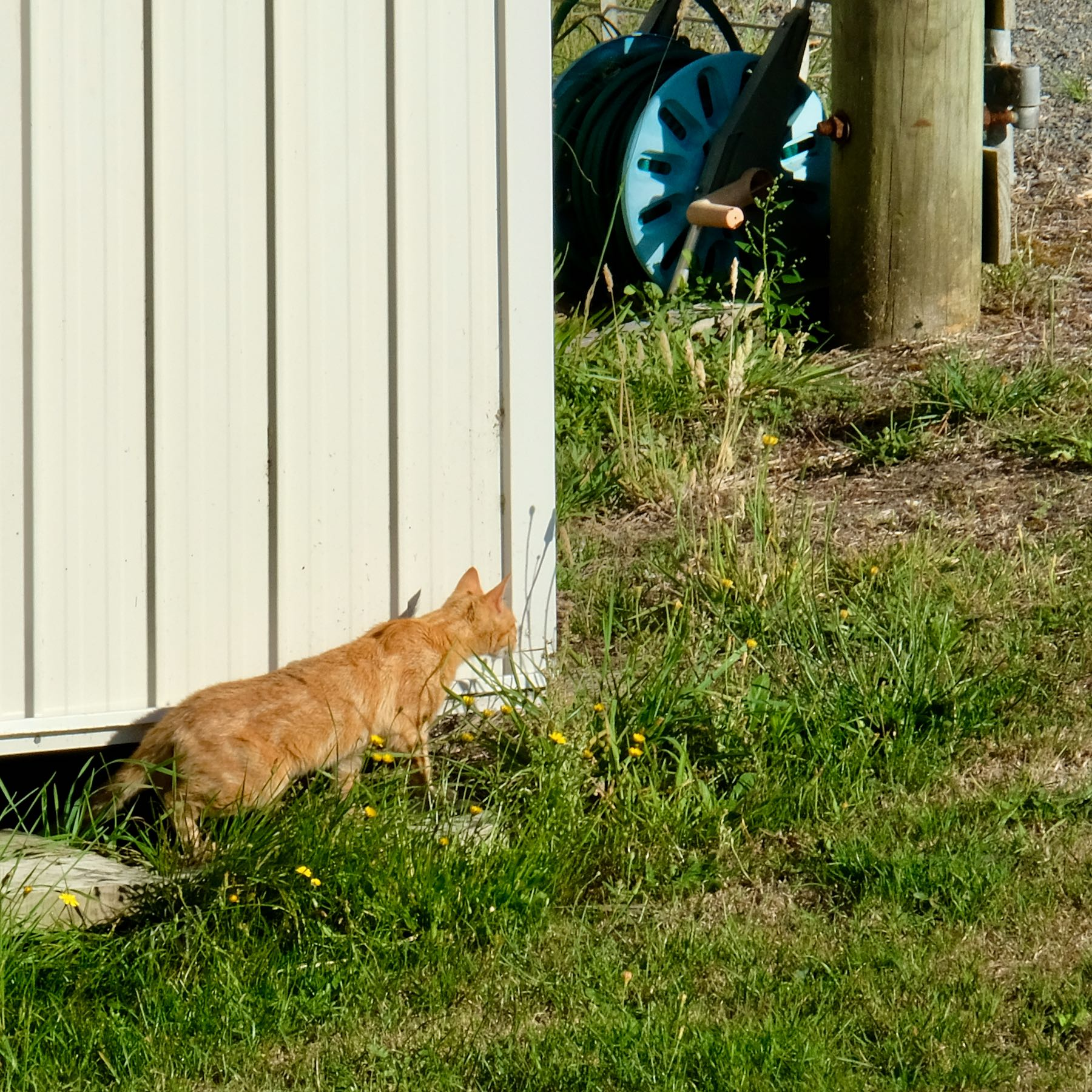 Stray ginger cat.
