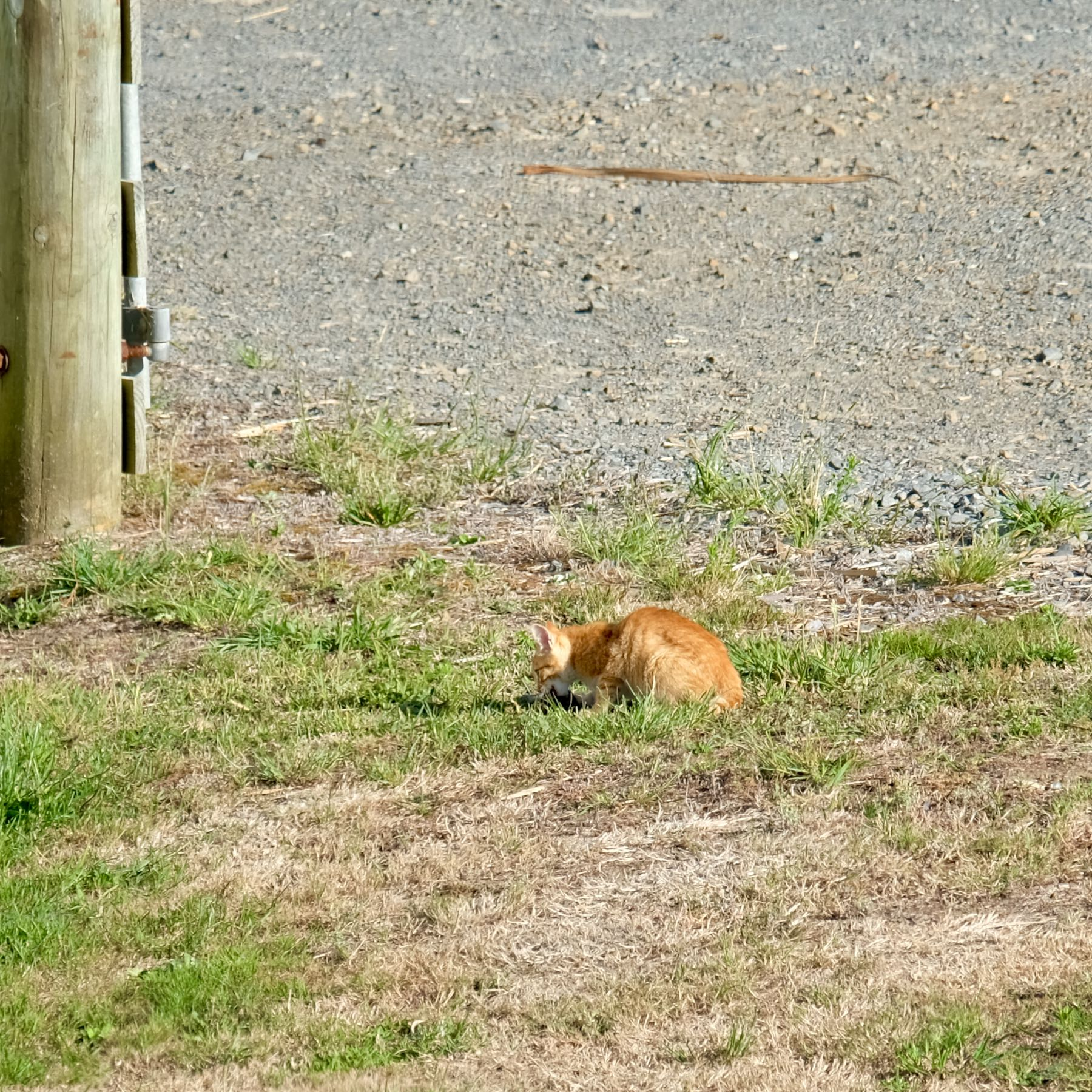 Stray ginger cat - with caught rabbit.