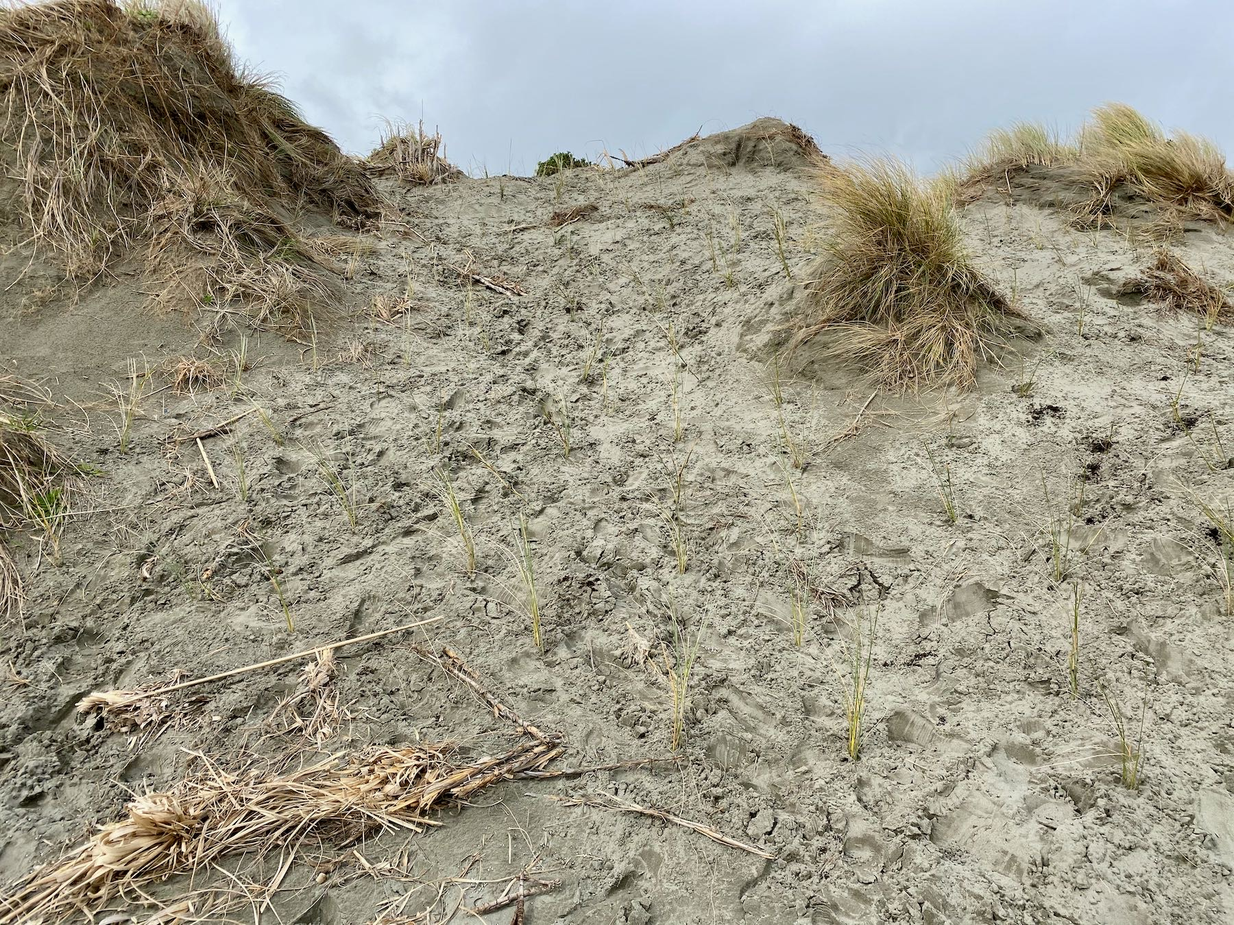 A tall and badly eroded dune has been planted up.