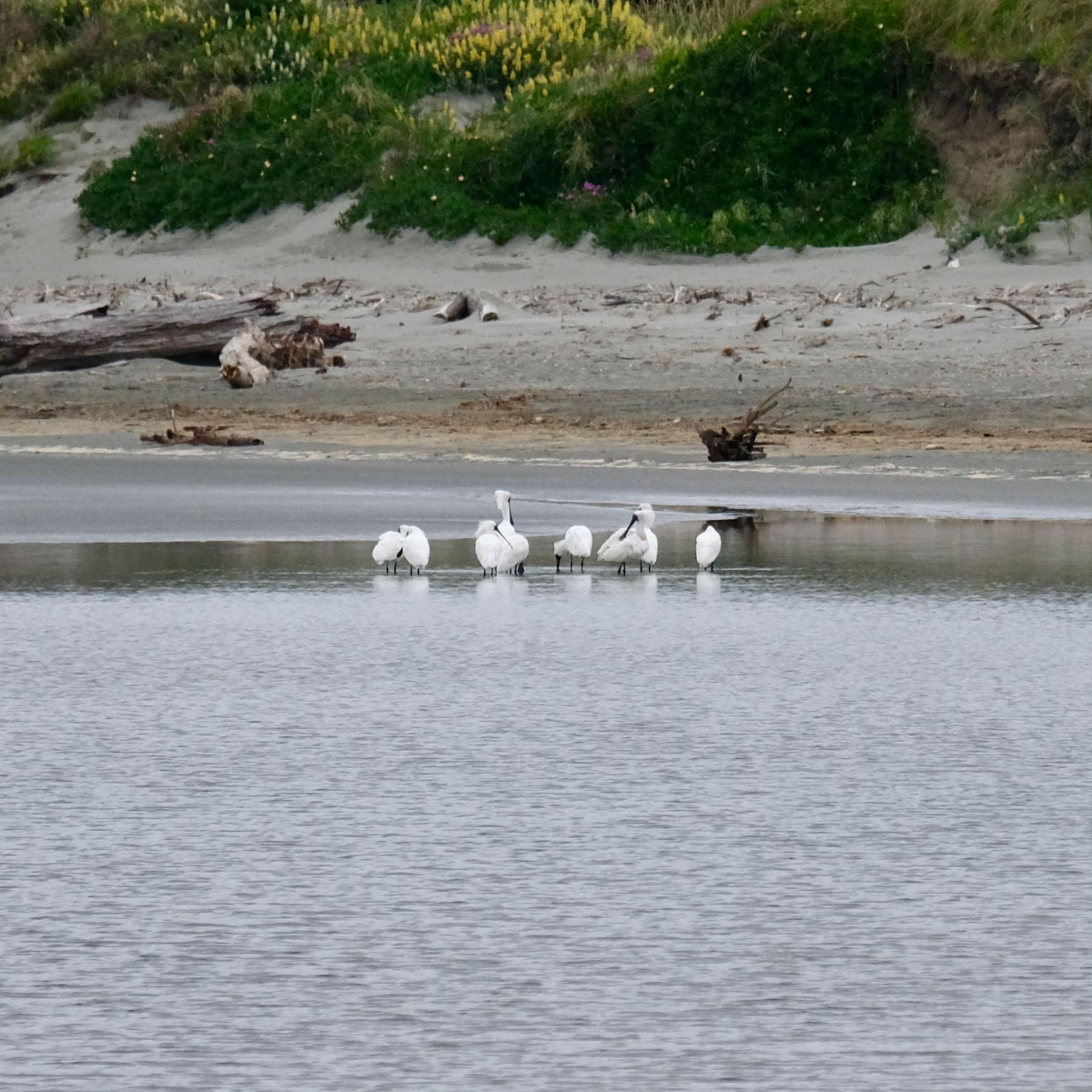 9 Spoonbills in the estuary.